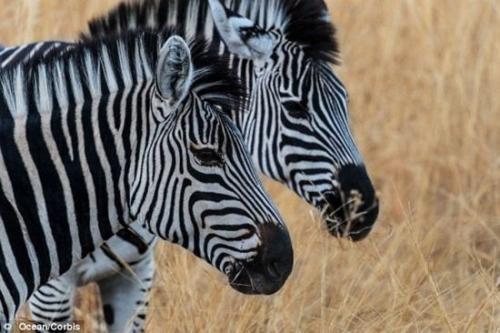 斑马是黑条纹的白马还是白条纹的黑马 蚂蚁庄园斑马是白条纹的黑马还是黑条纹的白马?